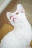 Kornisches Rex Kätzchen, das oben schaut Lizenzfreie Stockfotografie