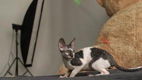 Kornisches Rex-Katzenspiel brut stock video footage