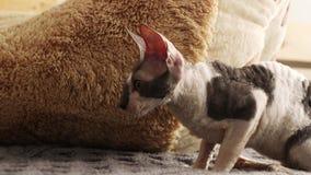 Kornisches Rex-Katzenspiel brut stock footage