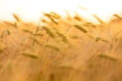 Kornlantgårdfält på den guld- solnedgången eller soluppgång Royaltyfria Foton
