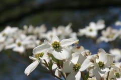 Kornoelje in bloem Stock Afbeeldingen