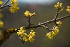Kornoelje die (Cornus mas) bloeien royalty-vrije stock foto