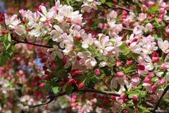 Kornoeljeboom in bloei royalty-vrije stock afbeeldingen
