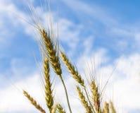 Kornrisfält på blå himmel i natur Arkivbilder