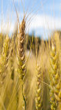 Kornrisfält på blå himmel i natur Arkivfoto