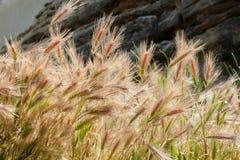 Kornskördar Arkivfoto