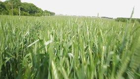 Kornspikeleten på bakgrunden av fältet - lagerföra videoen lager videofilmer