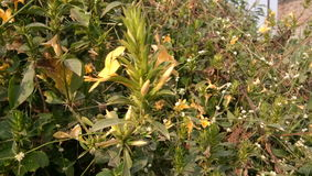 Kornti-Blumen Stockbilder