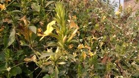 Korntibloemen Stock Afbeeldingen