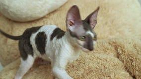 Kornwalijska Rex kota sztuka traken zdjęcie wideo