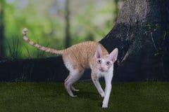 Kornwalijski Rex bawić się na trawie letni dzień Zdjęcie Royalty Free
