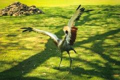 Korona żuraw z otwartymi skrzydłami Zdjęcie Stock