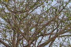 Korona afrykanina drzewo Zdjęcie Royalty Free