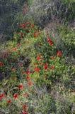 Korona anemon zdjęcie stock