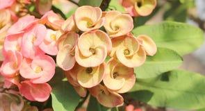 Korona cierń roślina Obrazy Stock