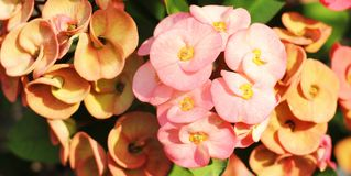 Korona cierń roślina Obraz Stock