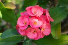 Korona cierń roślina zdjęcia royalty free