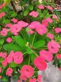 Korona cierni czerwoni kwiaty Fotografia Stock