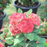 Korona cierni kwiaty: Euforbii milli Desmoul Zdjęcie Royalty Free