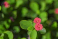 Korona ciernia kwiat Obraz Royalty Free
