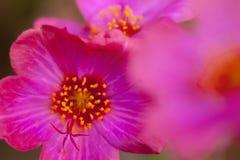 Korona ciernia kwiat Fotografia Stock