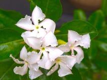 Korona ciernia kwiat 1 Obraz Royalty Free