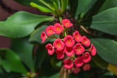 Korona ciernie kwitnie, Chrystus roślina, Chrystus cierń, euforbii milii zdjęcia stock