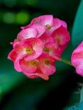 Korona ciernie kwitnie lub euforbii milli kwitnie Fotografia Royalty Free