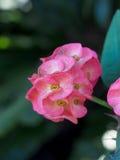 Korona ciernie kwitnie lub euforbii milli kwitnie fotografia stock