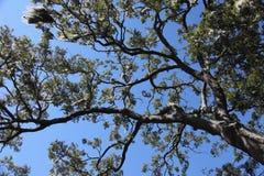 Korona drzewa Fotografia Stock