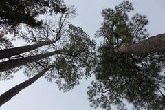 Korona drzewa Fotografia Royalty Free