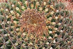 Korona Fishhook Lufowy kaktus w Arizona Obrazy Stock