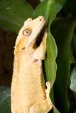 Korona gekon na liściu Zdjęcia Royalty Free