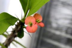 Korona Jezusowy kwiat zdjęcia stock