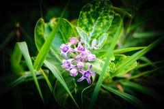 Korona kwiat Fotografia Stock