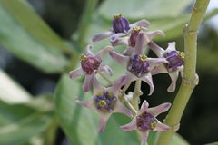 Korona kwiat Obrazy Stock