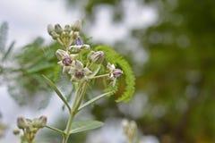 Korona kwiat zdjęcia royalty free