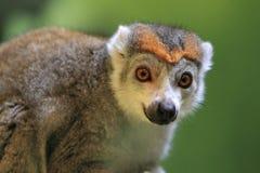Korona lemur Fotografia Stock