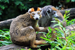 Korona lemur Obraz Stock