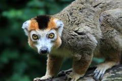Korona lemur Zdjęcia Stock
