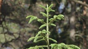 Korona mała zielona świerczyna zamknięta w górę letniego dnia w lesie zdjęcie wideo