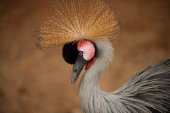 Korona ptak Zdjęcia Royalty Free