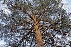 Korona stary drzewo przeciw niebu obrazy stock