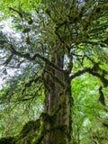 Korona stary suchy drewno przerastający z mech w zwartym tropikalnym lesie deszczowym fotografia stock