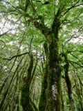 Korona stary suchy drewno przerastający z mech w zwartym tropikalnym lesie deszczowym obrazy stock