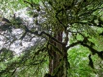 Korona stary suchy drewno przerastający z mech w zwartym tropikalnym lesie deszczowym zdjęcia stock