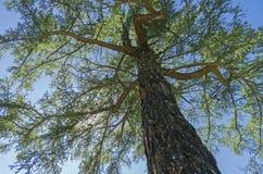 Korona Syberyjski modrzew na tle niebieskie niebo Obrazy Royalty Free