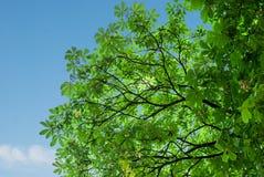 Korona zielony kasztan Zdjęcie Stock