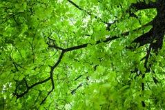 Korona zielony kasztan Obraz Royalty Free