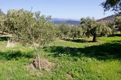 Olive grove with Koroneiki olives in Kalamata, Peloponnese region, Greece. Koroneiki olives, olive grove in Kalamata, Peloponnese, Greece stock photos